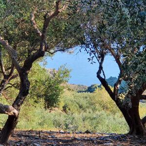 Olive-Trees Koroneiki
